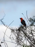 The scarlet-headed blackbird (Amblyramphus holosericeus) Royalty Free Stock Images