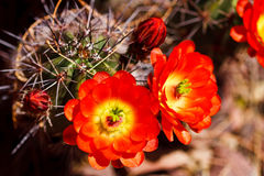 Scarlet Hedgehog Cactus Stock Photos