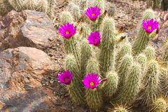 Scarlet Hedgehog Cactus Blooming Royalty Free Stock Photos