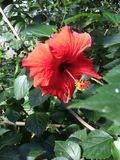 Scarlet Hibiscus. A bright red hibiscus blooms over verdant foliage in a rainforest environment Stock Image
