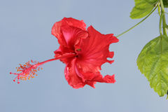 Scarlet Hibiscus Flower Royalty Free Stock Image