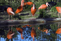 The Scarlet Ibis Stock Photo