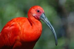 Scarlet Ibis Stock Images
