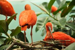 Scarlet Ibis. Gazing back at me stock photography