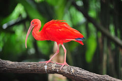 Scarlet ibis royalty free stock photography
