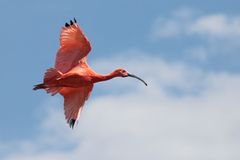 Scarlet ibis Royalty Free Stock Photo