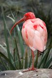 Scarlet Ibis Bird Stock Photography