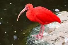 Scarlet Ibis Bird Royalty Free Stock Image