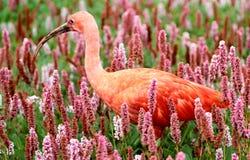 Scarlet Ibis bird Stock Image