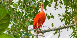 Scarlet Ibis bird is admired by the reddish coloration of feathers, Eudocimus ruber, tropical wader in the biosphere of the Old Po. Rt of Genoa royalty free stock photos