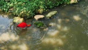 Scarlet Ibis bird drinking water stock video
