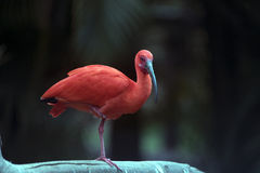 Scarlet ibis bird Stock Photo