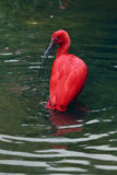 Scarlet ibis bird Royalty Free Stock Photography