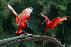 Scarlet ibis bird Royalty Free Stock Photo