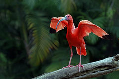Scarlet ibis bird. ITATIBA, SP, BRAZIL - OCTOBER 31, 2015 - Scarlet ibis, Eudocimus ruber, bird of the Threskiornithidae family, admired by the reddish Stock Images