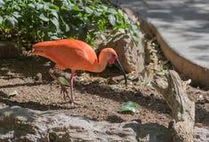 Scarlet Ibis Bird royalty free stock photos
