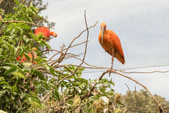 Scarlet ibis birds on a tree Stock Photography
