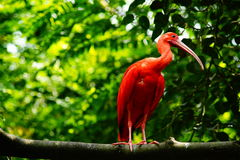 Scarlet ibis. On the branch Stock Photos