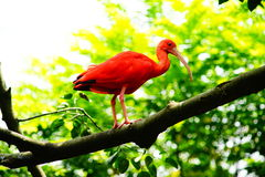 Scarlet ibis. On the branch Stock Images
