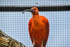 Scarlet Ibis In A Cage At The Artis Zoo Amsterdam The Netherlands. 2018 royalty free stock images