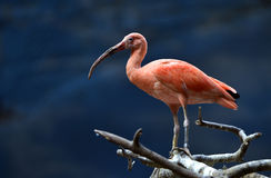 Scarlet Ibis Stock Photography