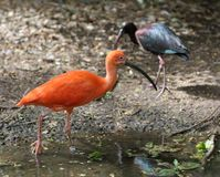 The Scarlet Ibis (Eudocimus ruber) Royalty Free Stock Image