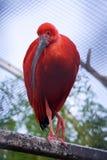 The Scarlet Ibis (Eudocimus ruber) Stock Image