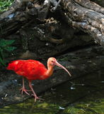 Scarlet Ibis (Eudocimus ruber) Royalty Free Stock Photography