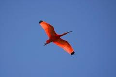 Scarlet Ibis (Eudocimus ruber) Stock Photo