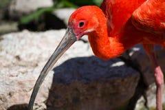 Scarlet Ibis (Eudocimus ruber) Royalty Free Stock Photo