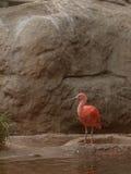 Scarlet ibis, Eudocimus ruber Stock Photography