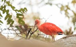 Scarlet ibis, Eudocimus ruber Royalty Free Stock Photo