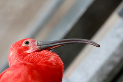 Scarlet ibis (Eudocimus ruber) Royalty Free Stock Photos