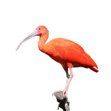 Scarlet Ibis, Eudocimus ruber Royalty Free Stock Photo