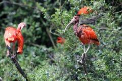 Scarlet Ibis, Eudocimus ruber Royalty Free Stock Image