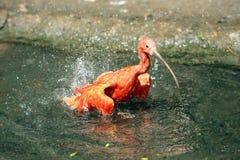 Scarlet Ibis, Eudocimus ruber Stock Image