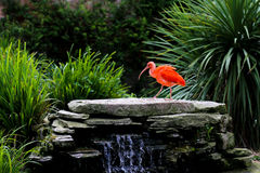 Scarlet Ibis Eudocimus Ruber at the edge of waterfall Stock Photo