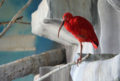 Scarlet ibis Eudocimus ruber - national bird of Trinidad royalty free stock photography