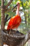 Scarlet ibis (Eudocimus ruber) nest Royalty Free Stock Photo
