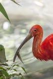 Scarlet ibis Eudocimus ruber. A scarlet ibis Eudocimus ruber on a pond Stock Images