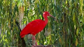 Scarlet ibis Eudocimus ruber stock video footage