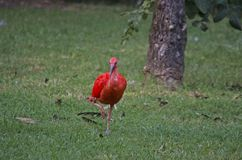 Scarlet ibis. A scarlet ibis (Eudocimus ruber) with is scarlet - red plumage, a typical bird of South America and of the Caribbean islands Royalty Free Stock Photo