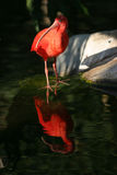 Scarlet Ibis Eudocimus ruber stands on a tree branch. A beautiful red Scarlet Ibis Eudocimus ruber stands on a rock with its reflection in water stock photo