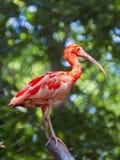 Scarlet ibis (Eudocimus ruber) Royalty Free Stock Images
