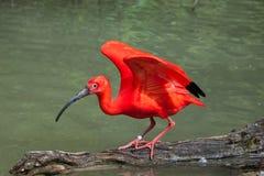 Scarlet ibis Eudocimus ruber. Royalty Free Stock Image