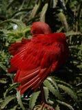 Scarlet ibis -Eudocimus rubur. Ibis hiding in its feathers Stock Photo
