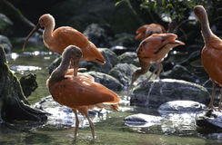 Scarlet Ibis family Stock Photos