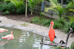 Scarlet Ibis and Flamingoes. A lone scarlet ibis watches a flock of flamingoes bathing in a pool Stock Image
