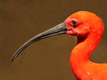 Scarlet Ibis. Found in N & S USA and are found near lagoons and swamps. Ibises are an ancient species with fossil records going back 60 million years Royalty Free Stock Image