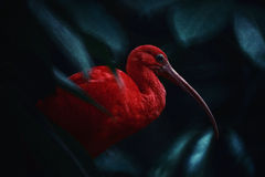 Scarlet ibis. Hiding in a leaves Royalty Free Stock Photo